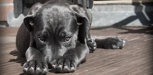 """""""Quando la paura fa 90 -  conoscere il cane fobico e la sua gestione nella vita"""""""